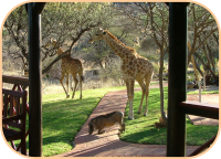 Giraffes in front of tents